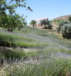 Casa Lavanda, the only lavender farm in Andalusia